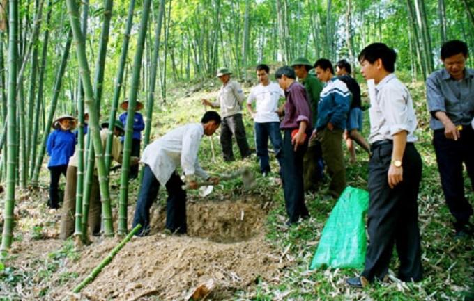 Nhân dân xã Tân Thành, huyện Thường Xuân chăm sóc rừng luồng (Ảnh: Báo Thanh Hóa).