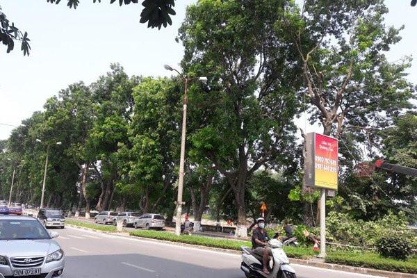 Cây xanh trên tuyến đường Kim Mã được chặt hạ, dịch chuyển. Ảnh: H.Nhì