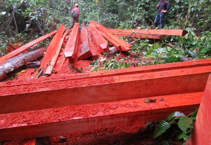 Những phách gỗ trường chua dài hơn 5m mới được cắt xẻ vuông vức nằm giữa rừng.