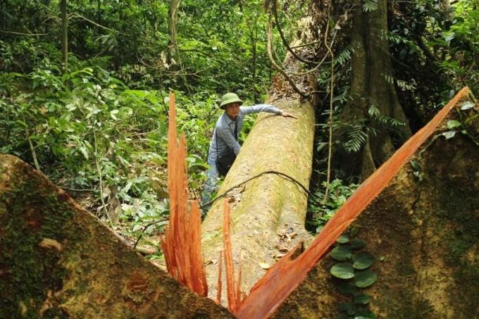 Một cây gội nếp đường kính hơn 1,3m, cao hơn 50m bị đốn hạ chưa cắt xẻ .