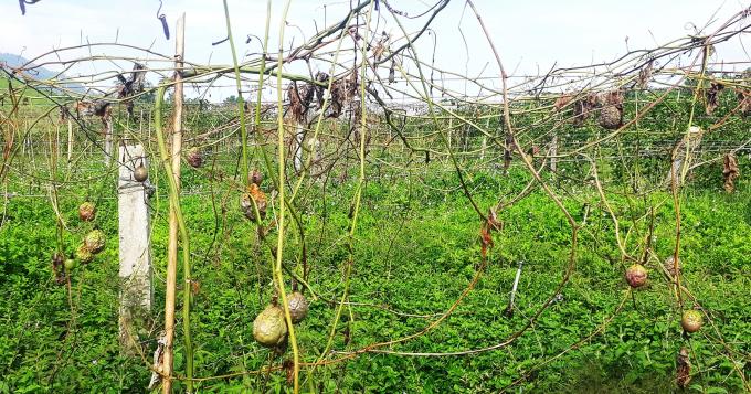 Diện tích trồng chanh leo bị chặt phá, ước tính thiệt hại gần 1 tỷ đồng.