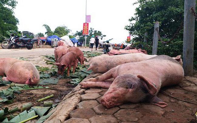 Thông tin dịch tả lợn Châu Phi có thể lây sang người đang gây hoang mang trong dư luận. (Hình minh họa)