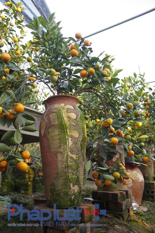 """Quất bonsai: Cây """"tí hon"""" giá bạc triệu"""