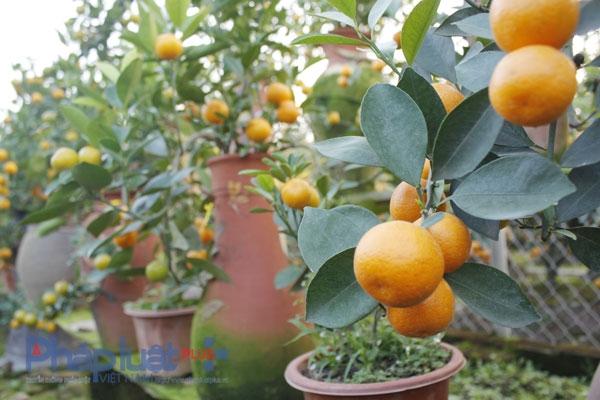 Mặc dù nuôi trong chiếc bình nhỏ, nhưng trái vẫn to và đẹp như trồng bên ngoài.