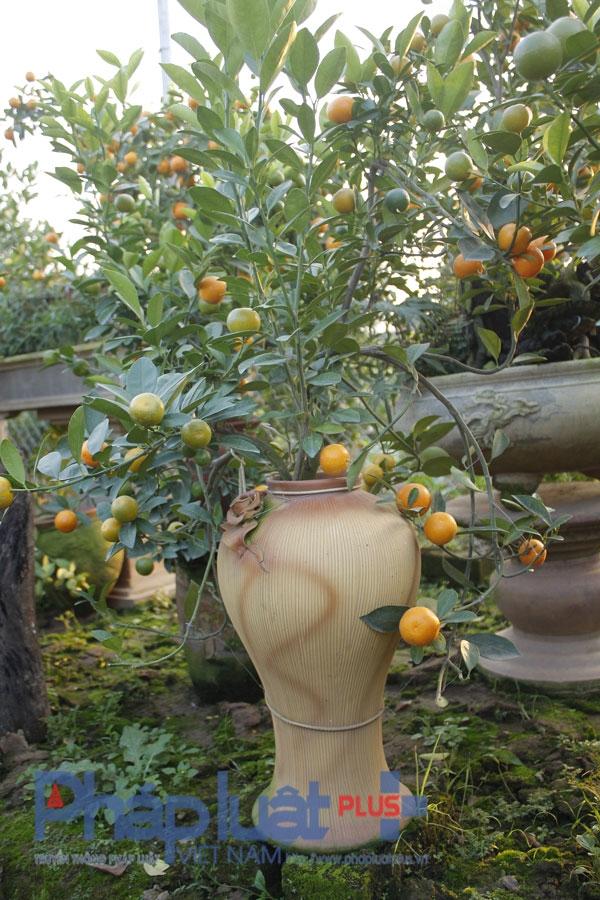 Chính vì trồng trong những bình gốm nên cây quất có vẻ đẹp riêng, ấn tượng với người mua.