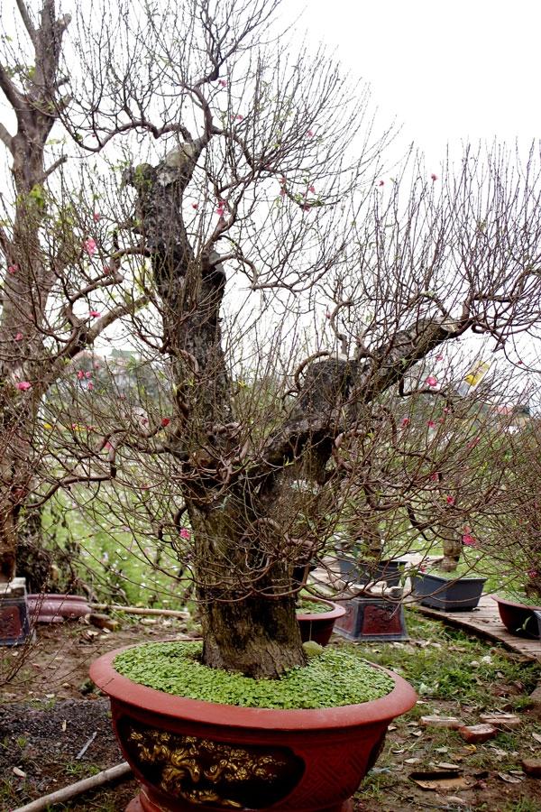 Những cây đào thế đã được các chủ vườn cho lên chậu chuẩn bị đưa lên phố trong những ngày cận tết.