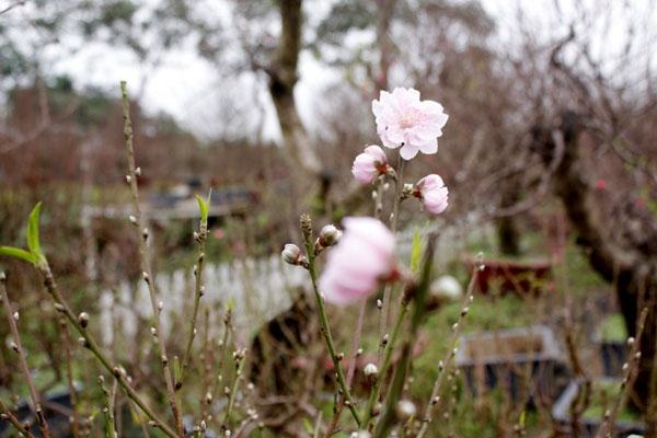 Những bông đào phai bung nở những cánh hoa đầu tiên.