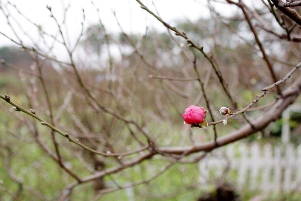 Anh Hà một chủ vườn đào Nhật Tân (Tây Hồ) cho biết, giá đào năm nào cũng ổn định như vậy. Còn đắt hay rẻ thì tùy thuộc vào mỗi cây.