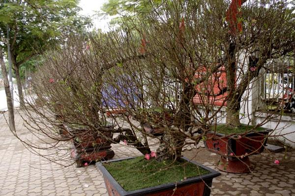 Phần lớn các chủ vườn đào Nhật Tân đã chuẩn bị hết những công đoạn chăm sóc các cây đào để ra hoa đúng dịp tết.Việc được hay không thì phụ thuộc hết vào thời tiết.