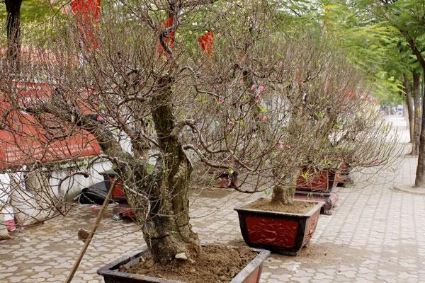 Những cây đào được đưa lên chậu rụch rịch bày bán trên phố.