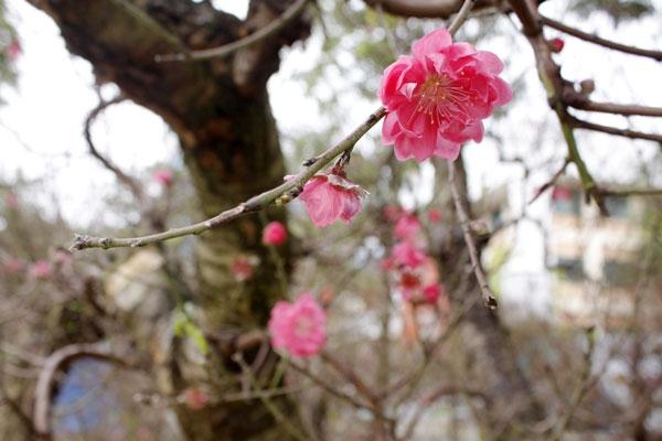 Những bông hoa đào nở sớm, báo hiệu một mùa xuân đang đến gần.