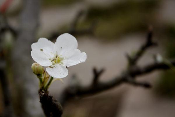 Bông hoa lê trắng tinh khôi bung nở làm cho ai ấy đi qua cũng phải ngắm nhìn. Ảnh: Như Trường.