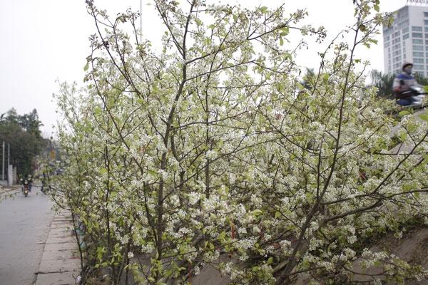 Nhiều người rất thích loài hoa này vì vẻ đẹp lạ lùng và màu trắng tinh khôi của nó.Ảnh: Như Trường.