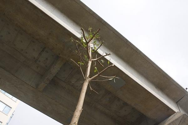 Mới trồng, nhưng nhiều cây có chiều cao đã chạm mặt gầm cầu.