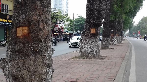 Hàng cây xà cừ cổ thụ trên đường Láng (Đống Đa, Hà Nội) bị đục khoét tạo thành những ô có hình chữ nhật.