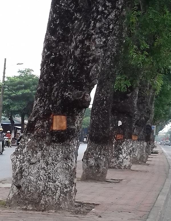 Cũng theo người dân ở đây cho biết, việc đục lấy những lớp vỏ trên thân cây để làm gì thì cũng chưa rõ, có thể người ta đục lấy để đun nước tắm chữa bệnh. Nhưng việc làm như thế này thật sự là không được vì không những mang việc phá hoại cây xanh thủ đô mà còn làm mất mỹ quan đô thị.