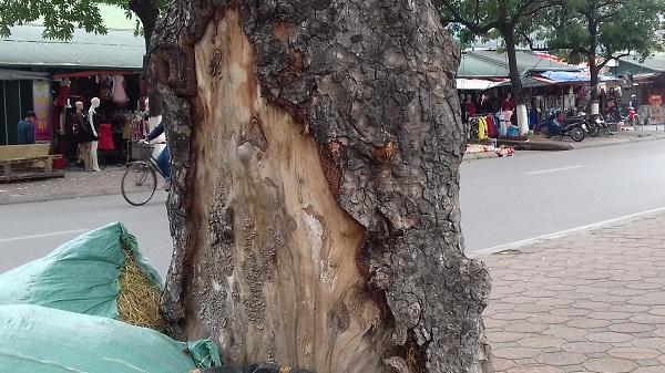 Có những cây đã bị lột vỏ từ rất lâu nay, đã thành vết sẹo lớn.
