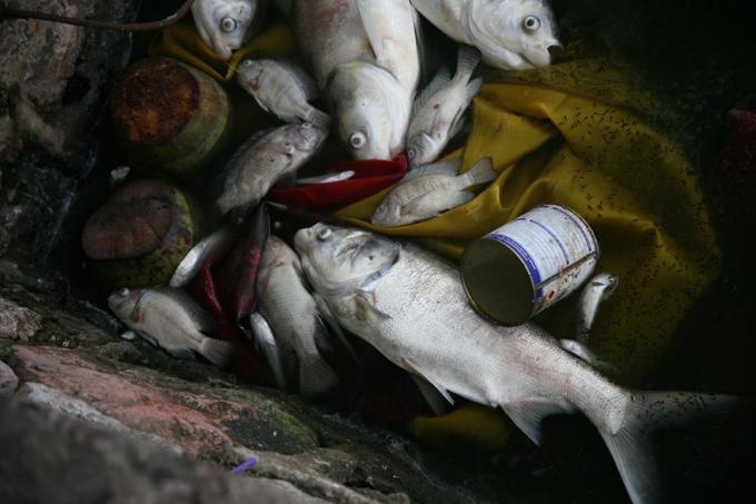 Cá chết rất nhiều loại. Trong đó chủ yếu là chép, mè, rô phi.