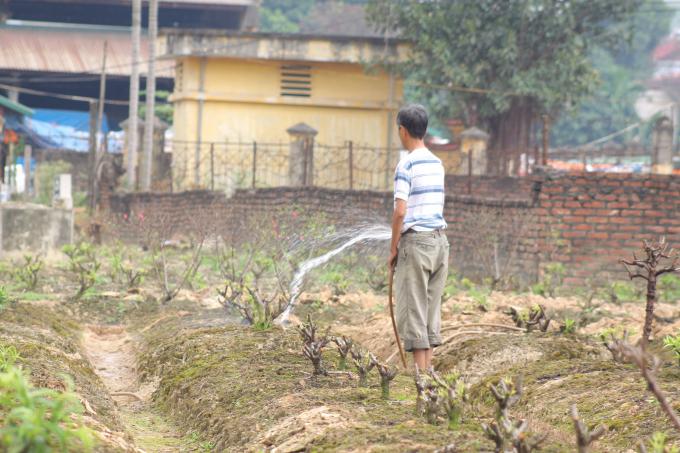 Công đoạn tưới nước cho cây. Theo một số chủ vườn cho hay, sau khi trồng cây xuống, vun đất xong thì mỗi ngày phải tưới 2 lần sáng và chiều tối, đến khi cây nẩy mầm xanh thì tưới ít đi vì khi đó cây đã sống.