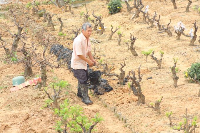 Để những cây đào có khả năng sống lại sau thời gian kiệt sức vào dịp Tết, người làm vườn phải rất vất vả chăm sóc, như việc lấy đất mới, bùn mới bồi vào cây mới có khả năng sinh trưởng tốt.