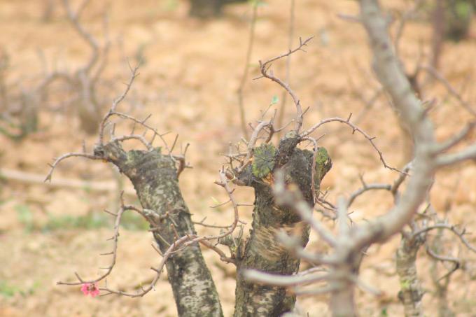 Một số cây đào sau khi đã cắt dăm còn