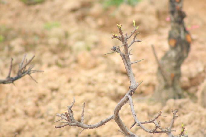 Một số cây đào đã lên lộc xanh, báo hiệu sự sống cho cây.