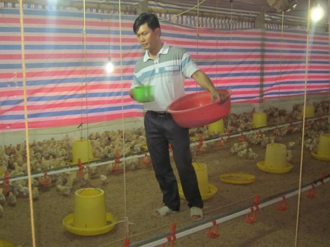 Đàn gà được chăm sóc cẩn thận, khoa học nhất