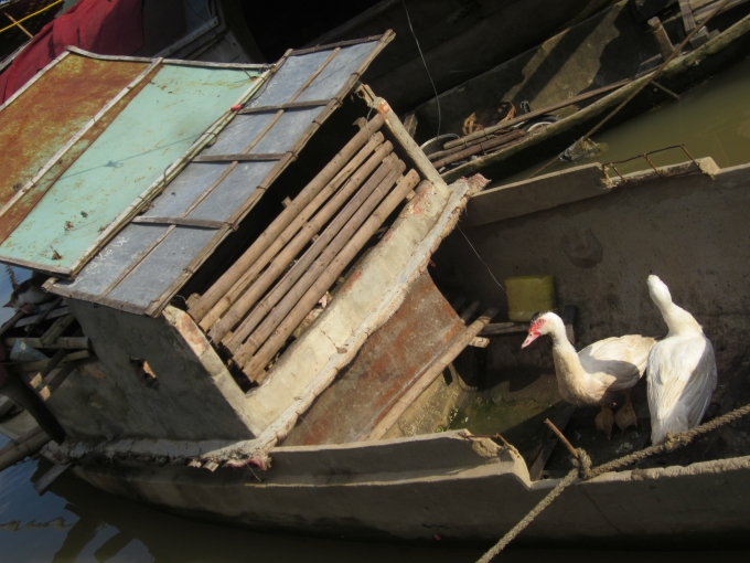 Thuyền bé nhưng nhà ai cũng dành riêng một góc thuyền để chăn nuôi