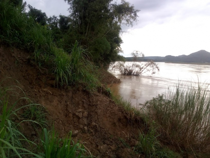 Hàng năm, bờ sông bị sạt lở ăn sâu khoảng 4-5 m vào diện tích đất canh tác của bà con. Ảnh: Nguyệt Chi