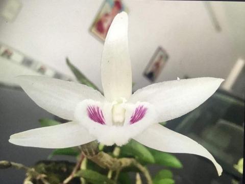 Bông hoa của gốc lan Giã Hạc vừa được bán với giá 6,8 tỷ đồng