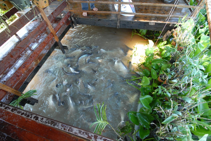 Khi đàn cá lên đến hàng nghìn con, ông Cường làm nhà sàn và chất thêm chà, lục bình để ngăn những kẻ xấu đến bắt cá.