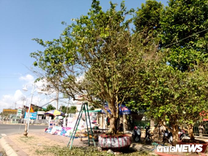 Hai ngày nay, nhiều người dân đi ngang đường Quang Trung (đoạn gần cầu Quang Trung, phường Hưng Phú, quận Cái Răng, TP Cần Thơ) tỏ ra rất thích thú trước một cây mai trăm tuổi được rao bán trên vỉa hè.