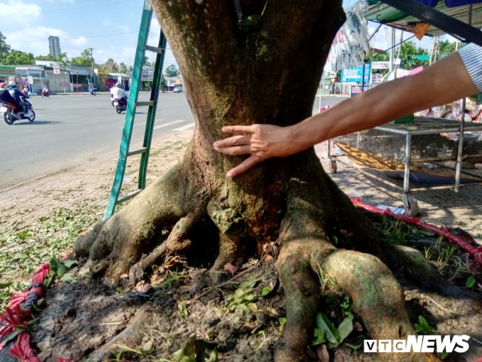 Theo quan sát, cây mai này có chiều caokhoảng 7m, tán rộng khoảng 8m, đường kính gốc khoảng 1,2m.