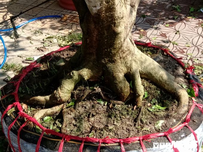 Trao đổi với phóng viên VTC News, ông Hiếu cho biết, mặc dù không thể tính chính xác nhưng ông khẳng định cây mai này có tuổi thọ trên 100 năm.