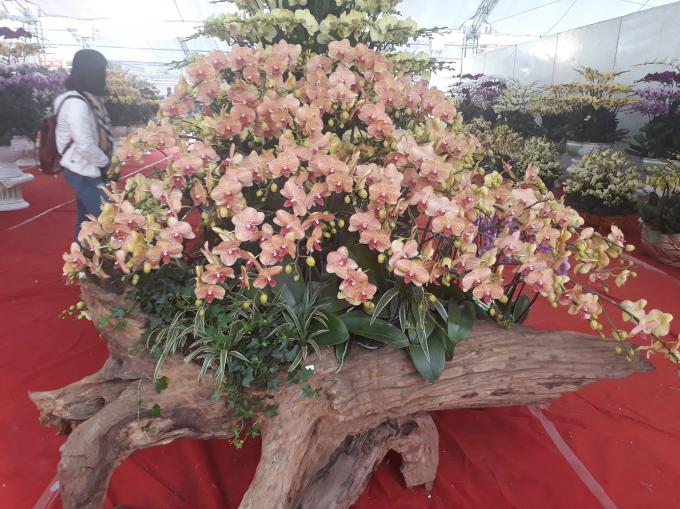 Những cánh lan hồ điệp hồng rực trên nền gỗ lũa thâm nâu tạo nên vẻ đẹp độc đáo.