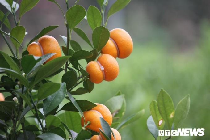 Những quả quất có hình hồ lô được chăm chút rất cẩn thận. Khoảng từ tháng 9 Âm lịch là người trồng đã bắt đầu tiến hành gò quả.