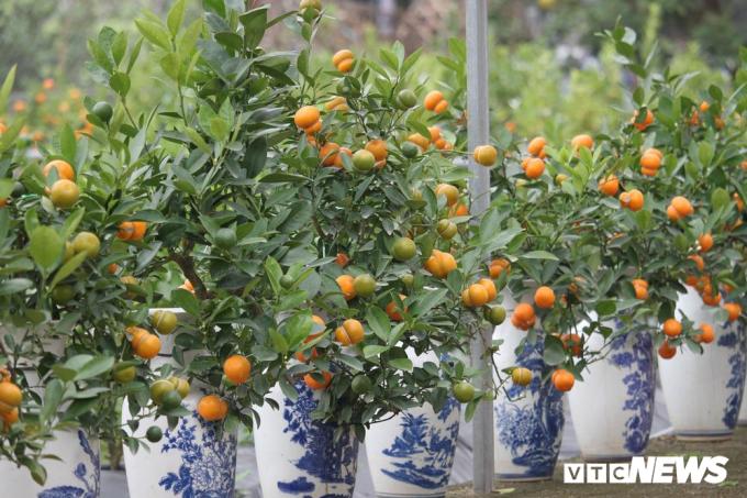 Những cây quất có quả hình hồ lô được trồng trong những chiếc bình và được bán ra thị trường với giá từ 300.000 đến 1 triệu đồng.
