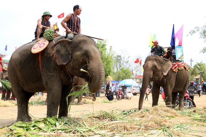Sau những phần trình diễn, những chú voi rất thích được nhấm nháp món ăn ưu thích của mình là mía chuối.