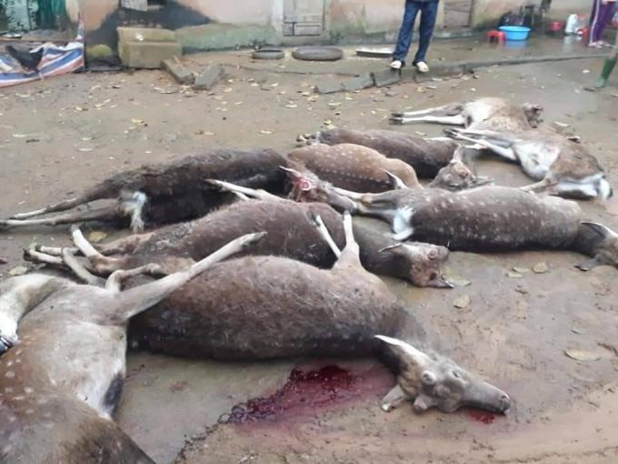 Cả đàn hươu của gia đình ông Thành bị sét đánh chết.