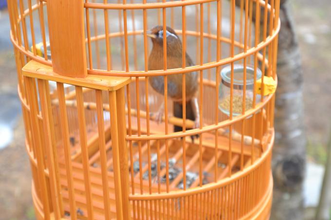 Hội thi chim Họa mi hót là hội thi đặc trưng tại huyện Mèo Vạc.