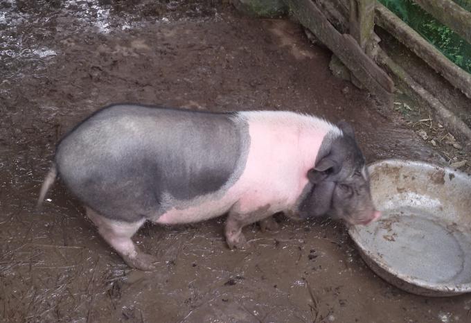 Lợn dự án danh cho người nghèo bị chết hàng loạt, những con còn sống cũng đang bị ốm