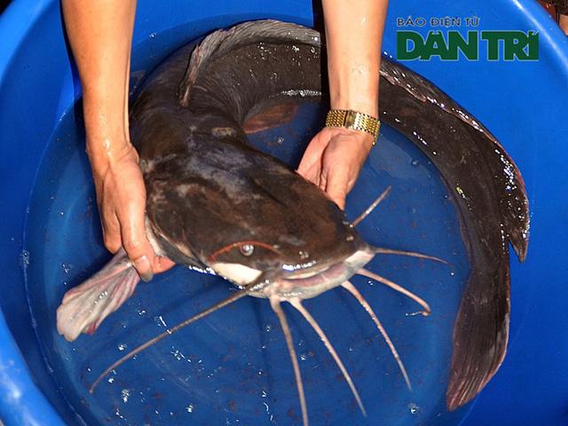 """Xẻ thịt cá trê """"khủng"""" 27kg ăn mừng đội Olympic Việt Nam"""