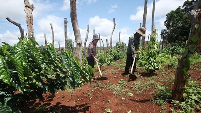 Từ vốn vay 30 triệu đồng của NHCSXH, gia đình anh chị Siêu My (thôn Cư PêR, xã Ia Hla, huyện Chư Pưh, Gia Lai) cải tạo thành công 4.000m2 đất trồng cà phê và hồ tiêu.