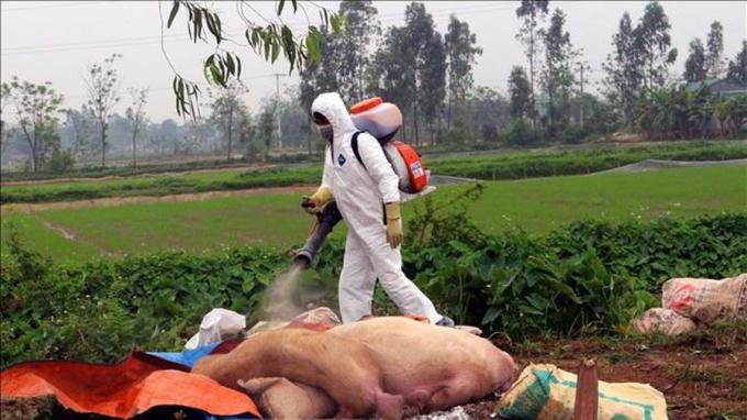Dập ổ dịch tả lợn châu Phi tại huyện Lương Sơn, Hòa Bình