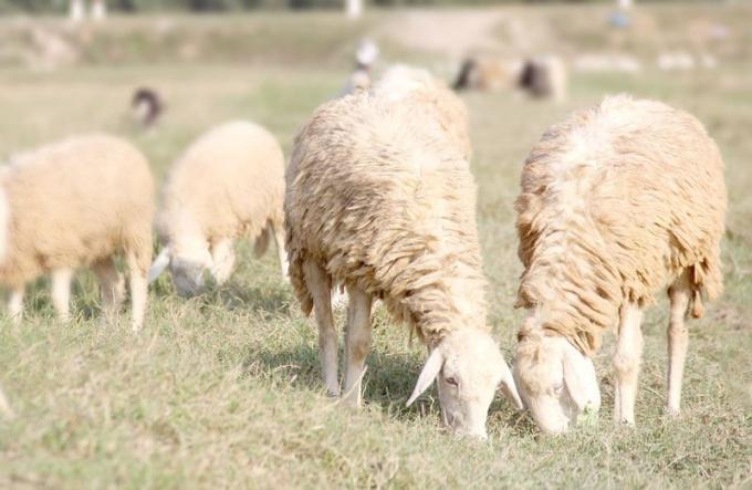 Trại cừu Yên Thành mang vẻ đẹp thơ mộng.