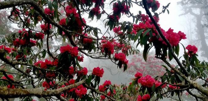 Hoa đỗ quyên trên đỉnh Putaleng.