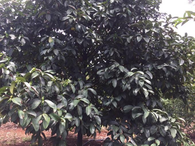 Sầu Riêng - loại trái đắt hàng nhất trong các loại trái cây hè cũng chịu chung số phận. Giá thành giảm mạnh chỉ còn khoảng 35.000đ/kg (Ảnh: An Dân)