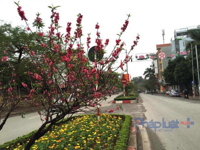 Đây là những cây đào được chính người dân ở làng Nhật Tân và Phú Thượng trồng cách đây rất nhiều năm.
