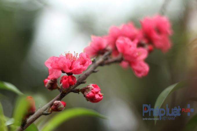 Đào nở muộn nhưng hoa rất to, và đẹp.