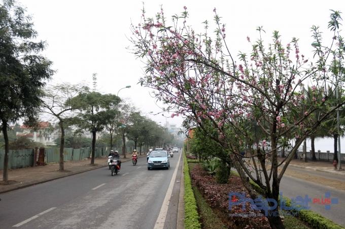 Những cây đào Nhật Tân vẫn đang khoe sắc thắm và luôn có